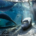 Manatee_In_Light_20