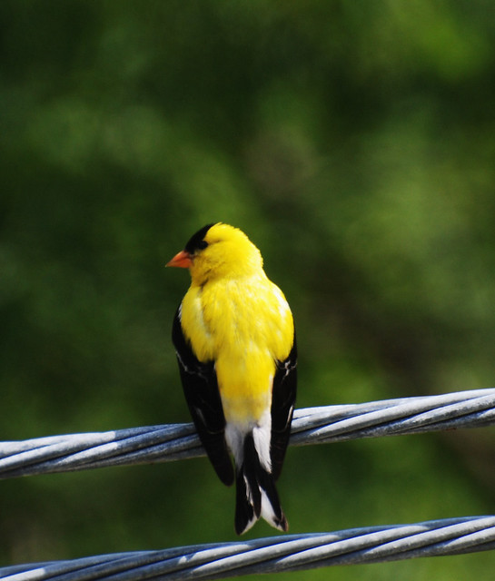 Eastern Goldfinch | Flickr - Photo Sharing!