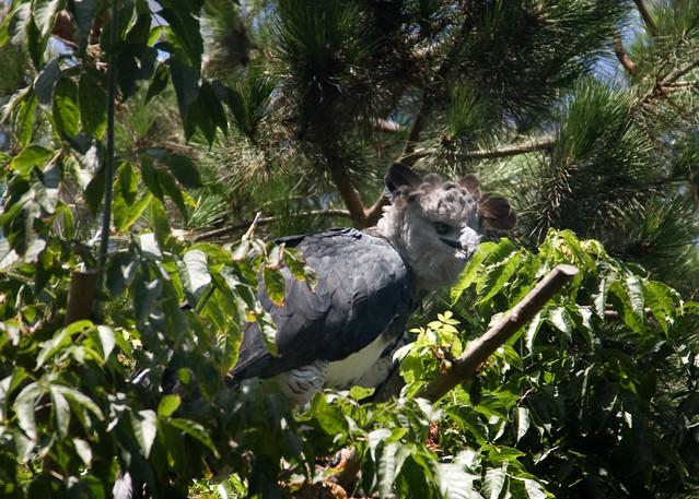 Harpy Eagle 1