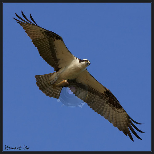 Osprey_Flight with fish