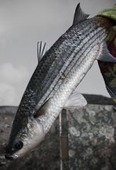 northern pike(0.0), bass(0.0), cod(0.0), common rudd(0.0), barramundi(0.0), animal(1.0), fish(1.0), fish(1.0), fauna(1.0), milkfish(1.0),