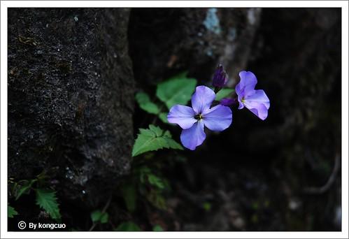图:长在岩壁上的诸葛菜(二月蓝)