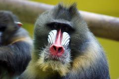 tufted capuchin(0.0), capuchin monkey(0.0), langur(0.0), white-headed capuchin(0.0), macaque(0.0), animal(1.0), baboon(1.0), monkey(1.0), mammal(1.0), fauna(1.0), drill(1.0), mandrill(1.0), close-up(1.0), old world monkey(1.0), new world monkey(1.0), wildlife(1.0),