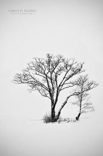 winter snow ontario canada tree landscape nikon sigma aurora highkey minimalism gp1 d90 abigfave carlosdramirez cdr35