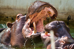 Fighting/playing hippos