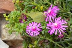 dorotheanthus bellidiformis(0.0), annual plant(1.0), flower(1.0), plant(1.0), flora(1.0), ice plant(1.0),