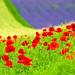Flower carpet by nippak