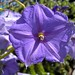 Solanum_sp-giant-SF