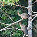 Small photo of A Pair of Hoatzin - Shansho Birds