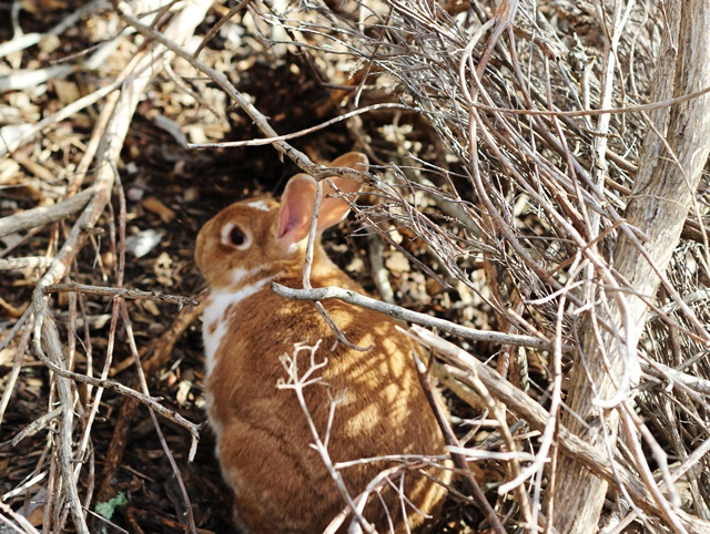 ginger-colored rabbit exploring in the brush