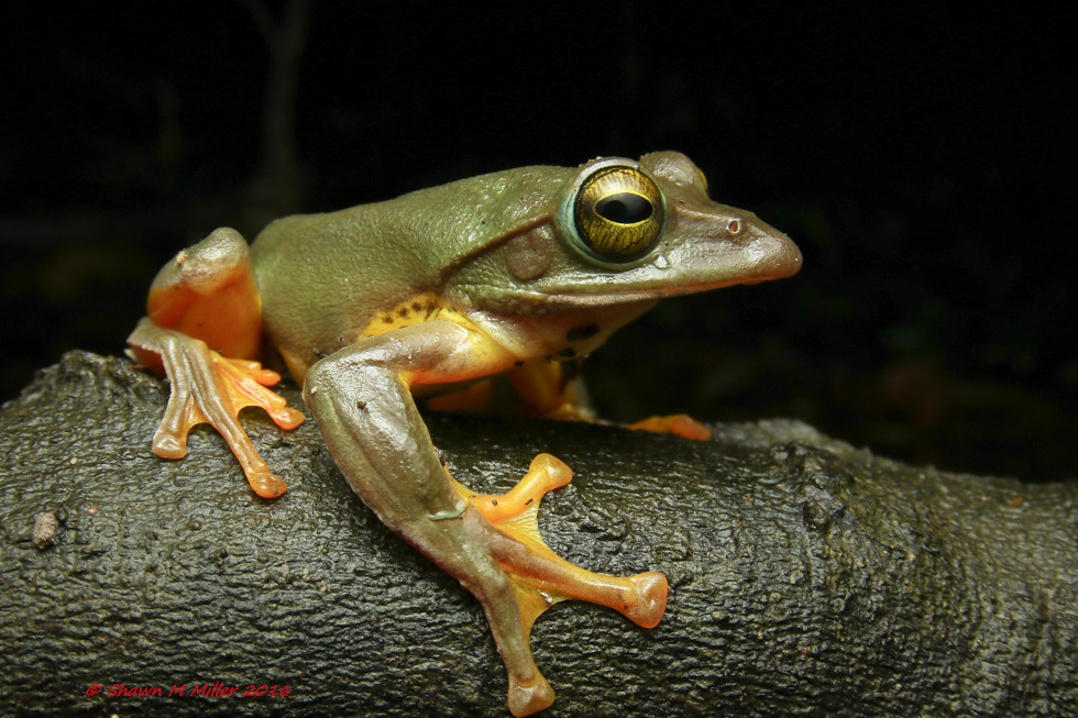 Okinawan tree frog- Yomitan, Okinawa