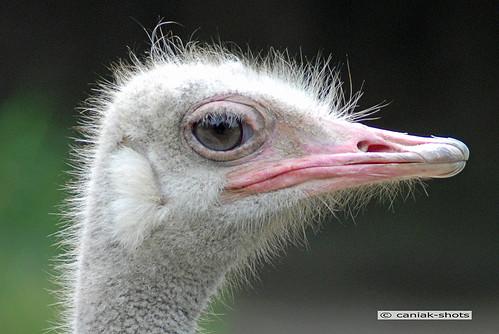 Ostrich / Vogel Strauß