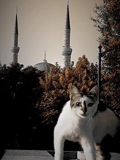Istanbul Katze