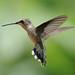 pollen on hummingbird's head_7-25-09_064 by pmsswim