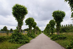An avenue of trees at Harperbury Hospital.