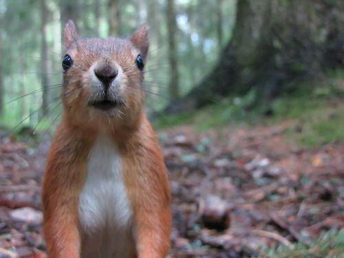 Curious red squirrel