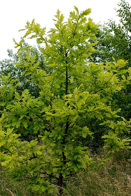 Quercus pubescens (Downy Oak) - 1 - young tree