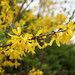 Forsythia - Photo (c) -NjuTIKA-, some rights reserved (CC BY-NC-SA)