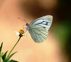 Cabbage White Butterfly-13