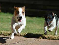 dog breed, animal, dog, pet, carnivoran, basenji, jack russell terrier,