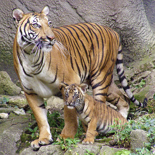 Malayan Tigers - Hutan and one of her four, 15 week old, male cubs.