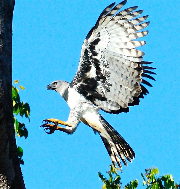 Harpy Eagle (Harpia harpyja) in Flight | I had to fortune ...