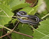 """<a href=""""http://www.flickr.com/photos/8583446@N05/3785488275/"""">Photo of Thamnophis butleri by Dan Mullen</a>"""
