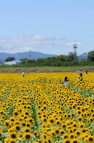 yellow nikon sunflower 岐阜 gifu 向日葵 ogaki d300 黄色 ひまわり ヒマワリ 黄 大垣 hiramachi 平町
