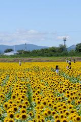 20090814 Sunflower 1