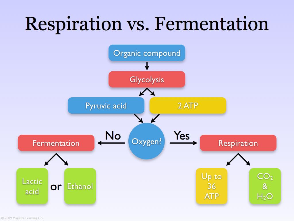 repiration vs fermentation a photo on flickriver : fermentation diagram - findchart.co