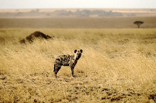 無料写真素材, 動物 , 哺乳類, ハイエナ