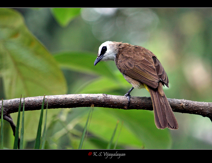 Yellow-vented Bulbul, Thailand