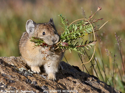 Pika gathering grasses for winter feed 0R7E2152