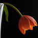 Droop Tulip by PVA_1964