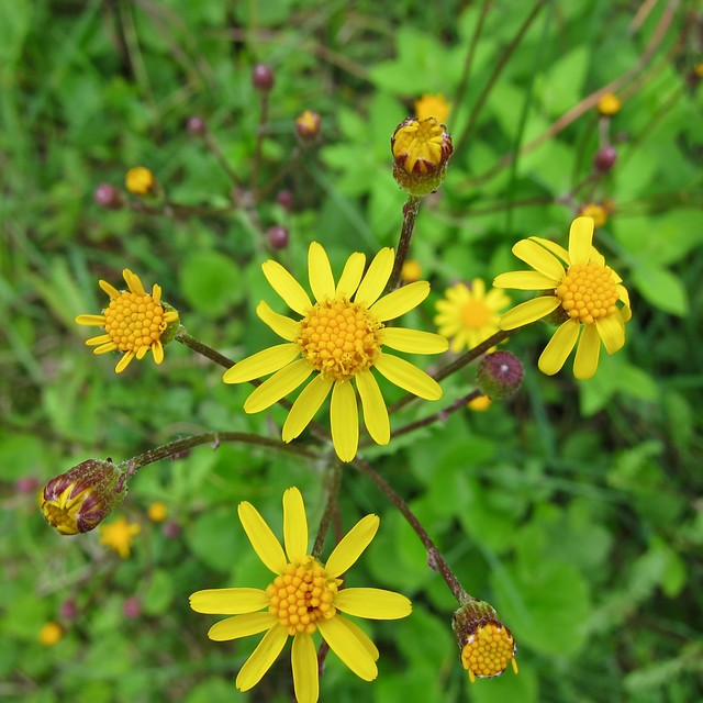 Golden ragwort, S90