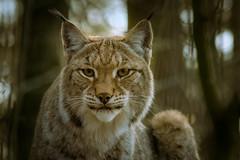 Luchs (Lynx)