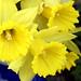 Daffodil Aria