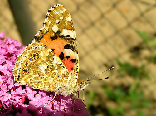 Vanessa cardui in our garden at Buddleja davidii