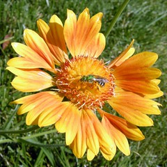 gaillardia, annual plant, calendula, flower, yellow, plant, macro photography, herb, wildflower, flora, petal,