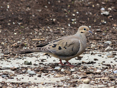 Mourning Dove detail