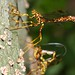female giant ichneumon wasps