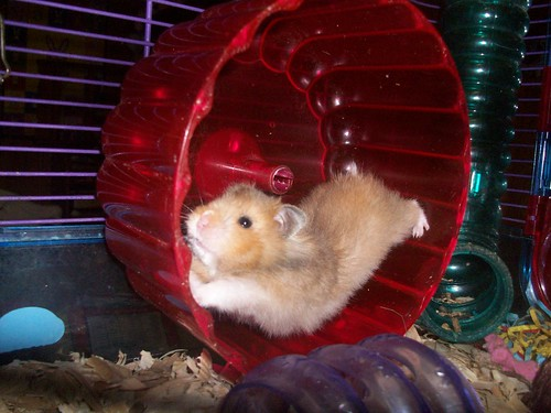 Hamster a Day~ #15