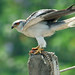 Black-shouldered Kites - Photo (c) Tarique Sani, some rights reserved (CC BY-NC-SA)