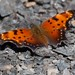 Grey Comma - Photo (c) Jason Forbes, some rights reserved (CC BY-NC-ND)