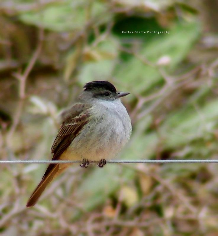 Tuquito Gris / Crowned Slaty-flycatcher