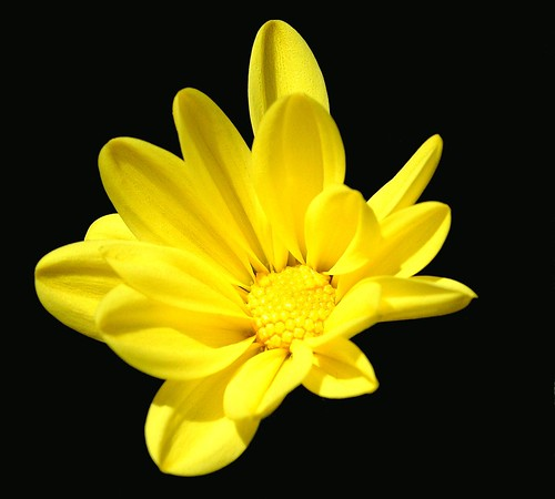 black flower art nature floral beautiful yellow blackbackground canon landscape photography photo petals flickr pretty fuji blossom picture petal bloom pollen niko striking daisey flickeraward mikewoodfin