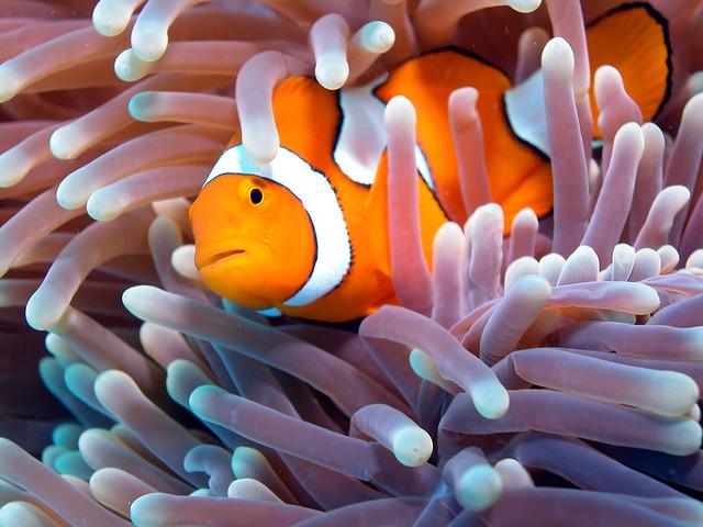 Gran Barrera de Coral, Australia, Amphiprioninae pez payaso