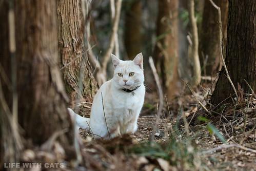 4T4A4735 Cream tabby Japanese cat 薄茶トラ猫