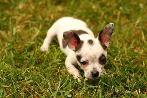 dog pet pets chihuahua cute dogs grass animal yard canon puppy 50mm backyard waiting play ar lawn chihuahuas arkansas playful polkadot aroundthehouse dogseyeview canon50mm canonef50mm vilonia dotdot niftyfifty 40d canon40d