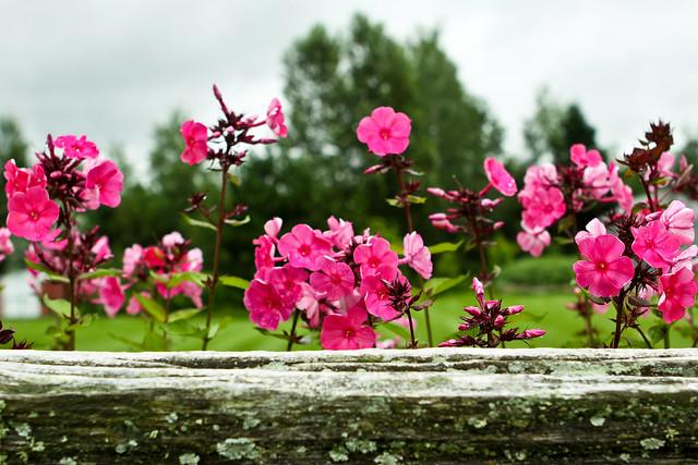Des fleurs roses